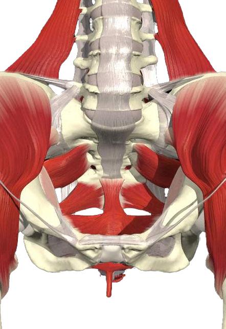 Visione anteriore muscoli